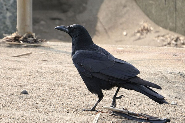 Individu corvidé