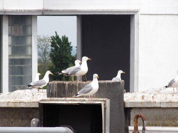 Goélands sur toiture